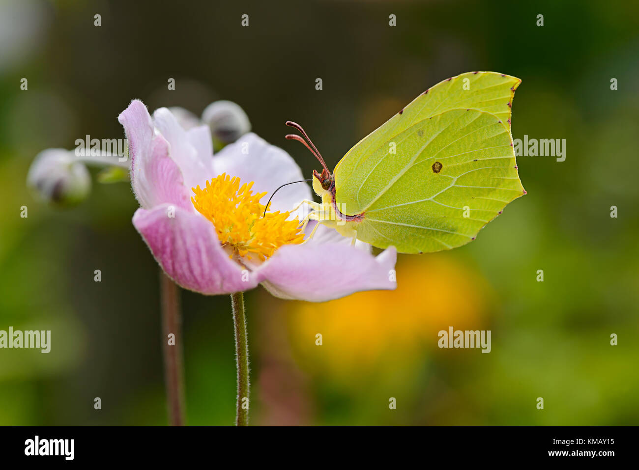 A yellow Brimstone butterfly ( Gonepteryx rhamni ) feeding on nectar from a flowering japanese anemone. - Stock Image