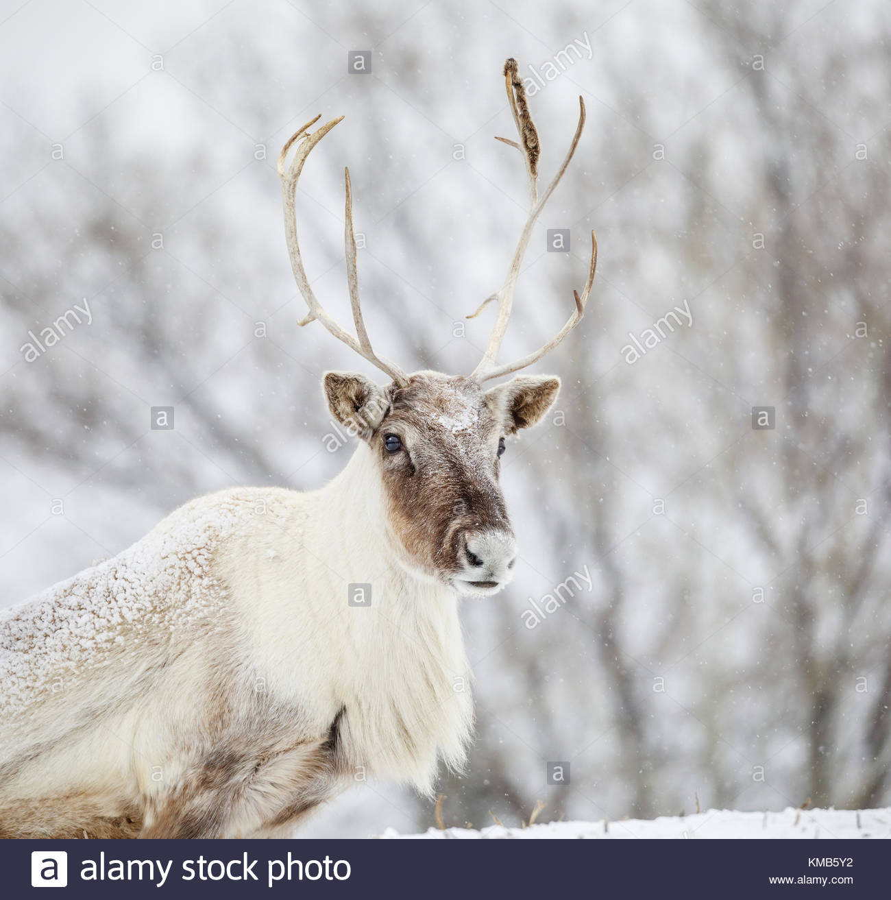 Boreal Woodland Caribou, also known as the Reindeer, (European name}, Rangifer tarandus, captive animal, Manitoba, - Stock Image