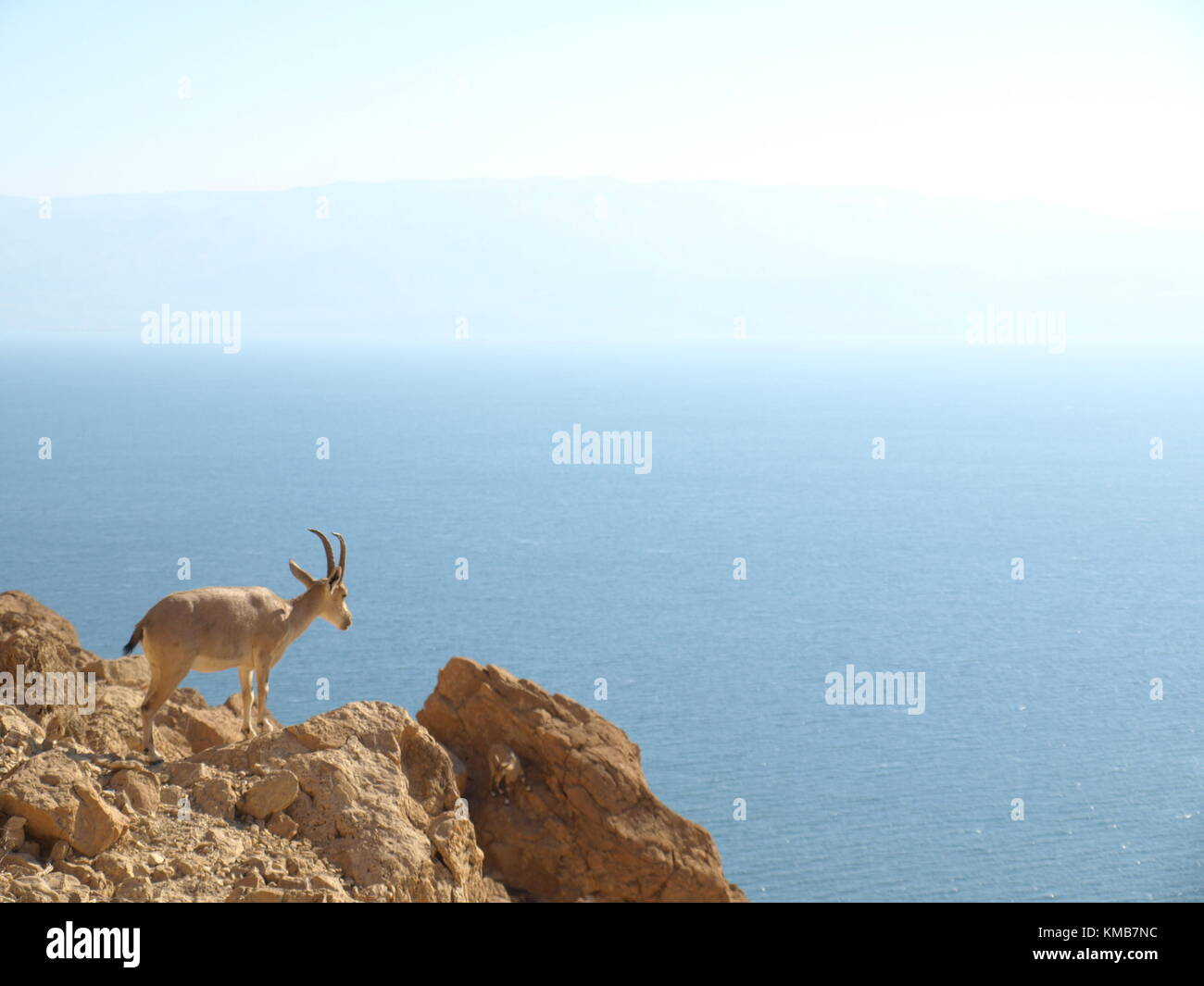 The ibex in nature standing on a cliff in the dead sea Stock Photo
