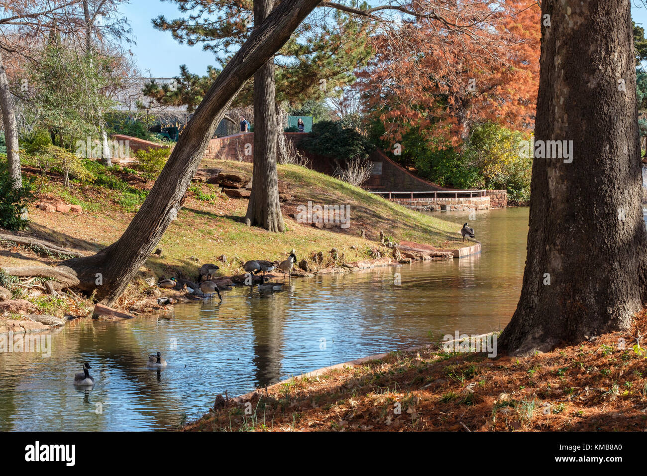Canada Geese, Branta canadensis, swim in a creek in Will Rogers park in Oklahoma City, Oklahoma, USA in the autumn. - Stock Image