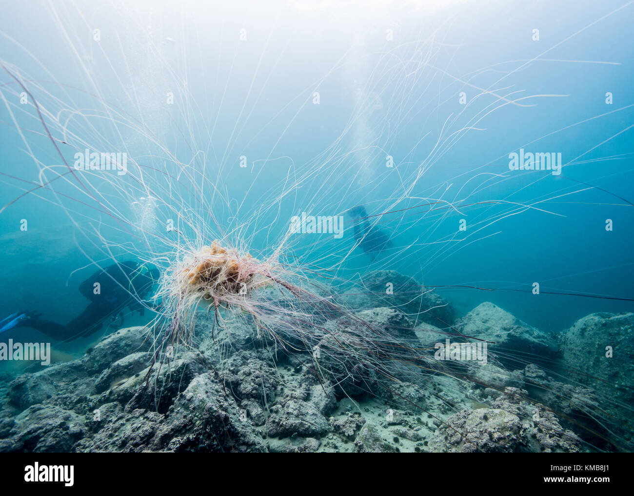 Lion's mane Jellyfish in front of silhouette of divers in Tromso, Norway - Stock Image