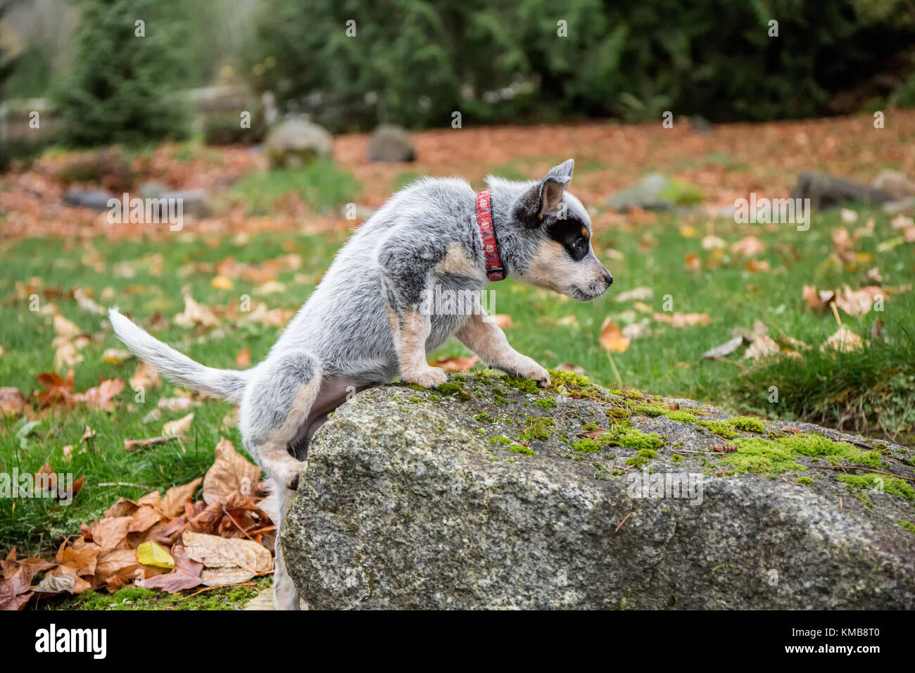'Lilly', a 10 week old Australian Cattledog puppy struggling to climb on top of a rock in Issaquah, Washington, - Stock Image
