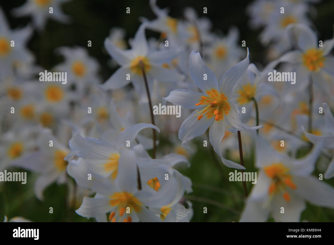 Avalanche Lilies at Eunice Lake - Stock Image