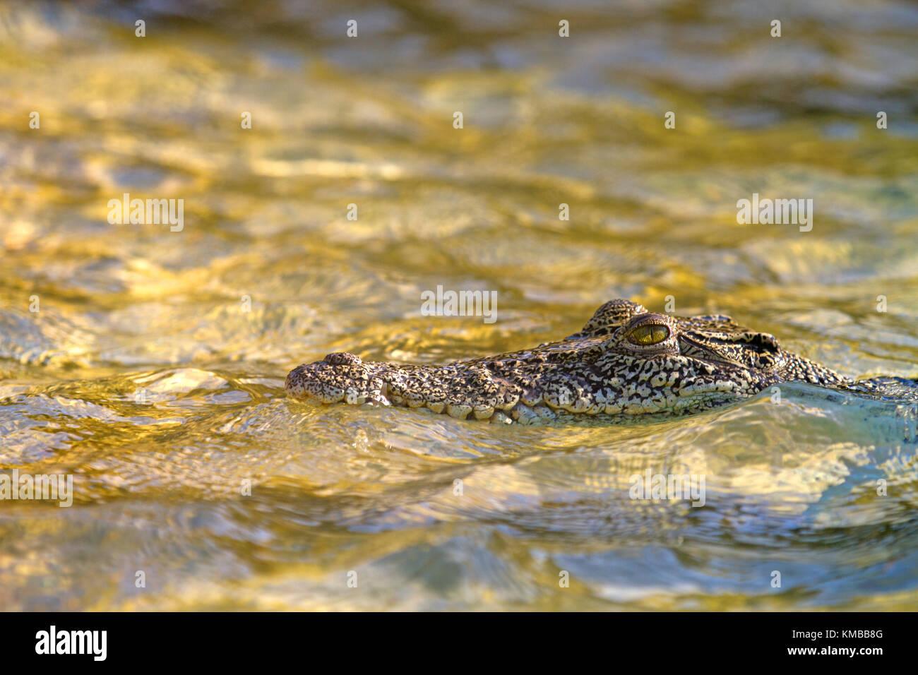 Estuarine (saltwater) rocodile in the Hunter River in the Kimberley - Stock Image