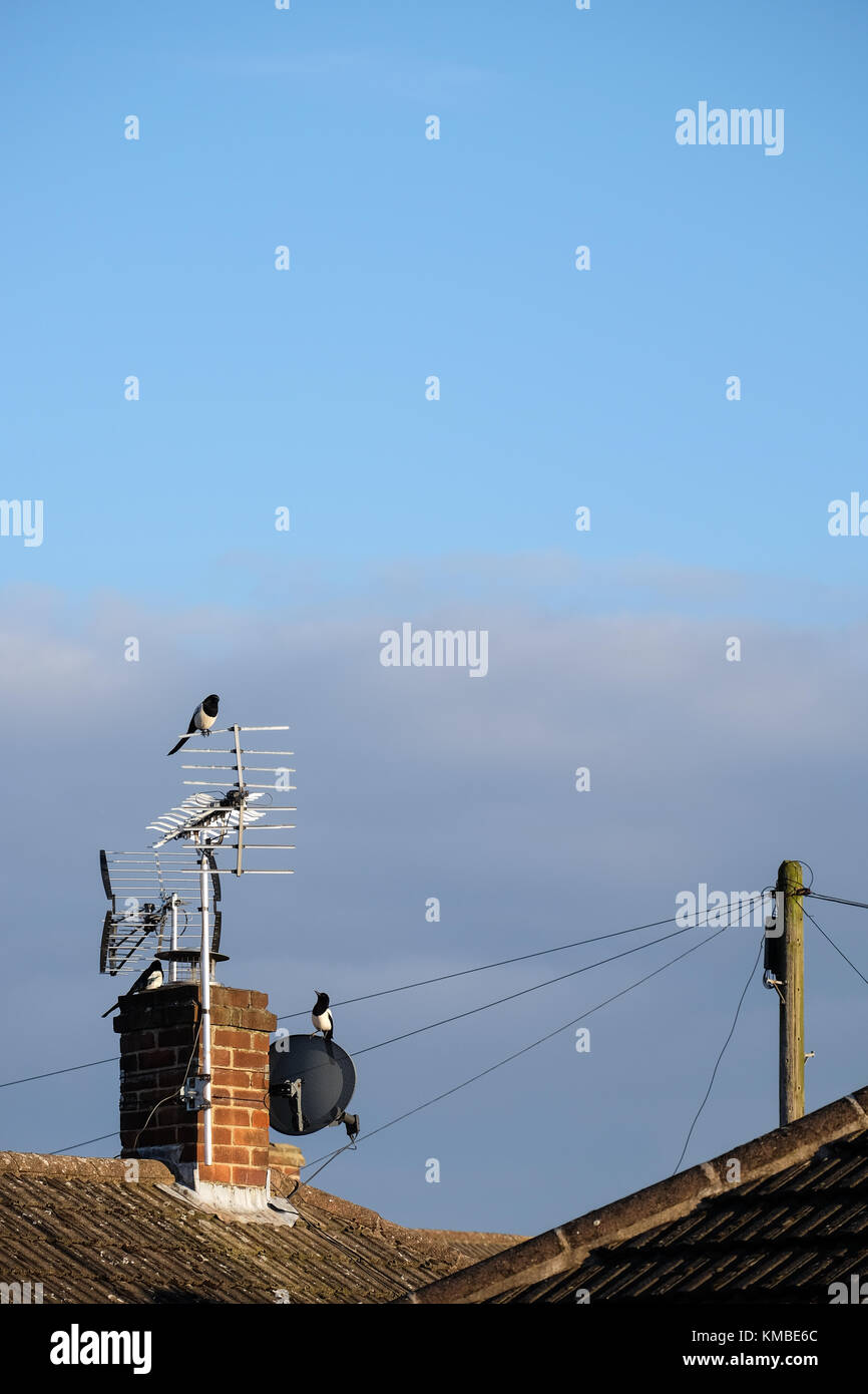 magpies sitting on a tv aerial - Stock Image
