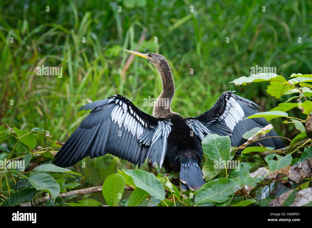 Neotropic cormorant (Phalacrocorax brasilianus) drying its feathers. - Stock Image