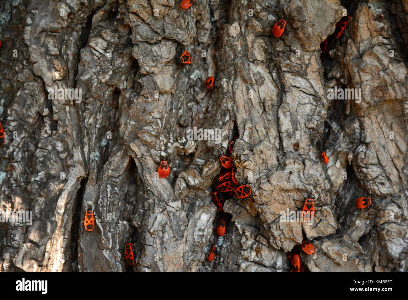 Gendarme beetles (lat. Pyrrhocoris apterus) aggregation on a tree trunk - Stock Image