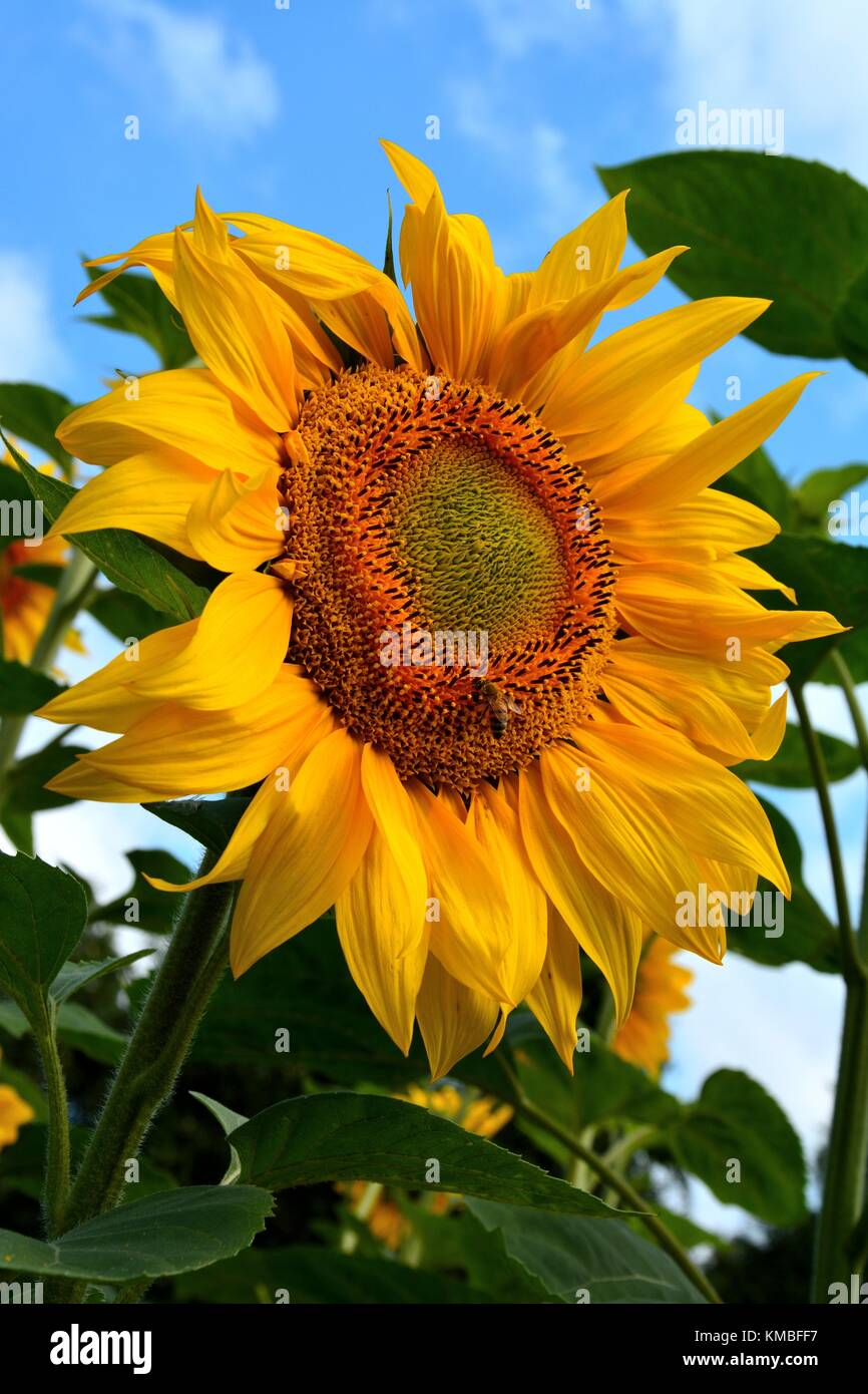 A bee pollinating sunflower (lat.: Helianthus) head close-up Stock Photo
