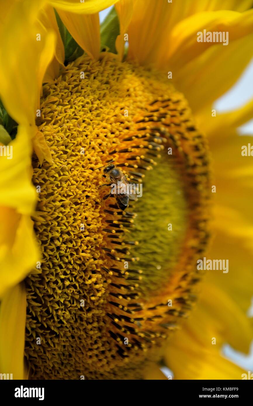 Closeup of a bee pollinating a sunflower (lat.: Helianthus annuus) Stock Photo