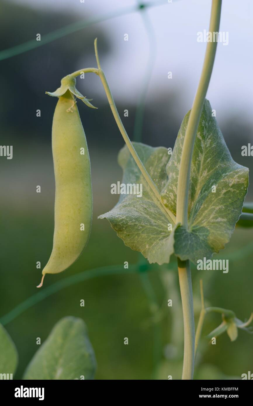 Young green pea pod close-up in a vegetable garden Stock Photo