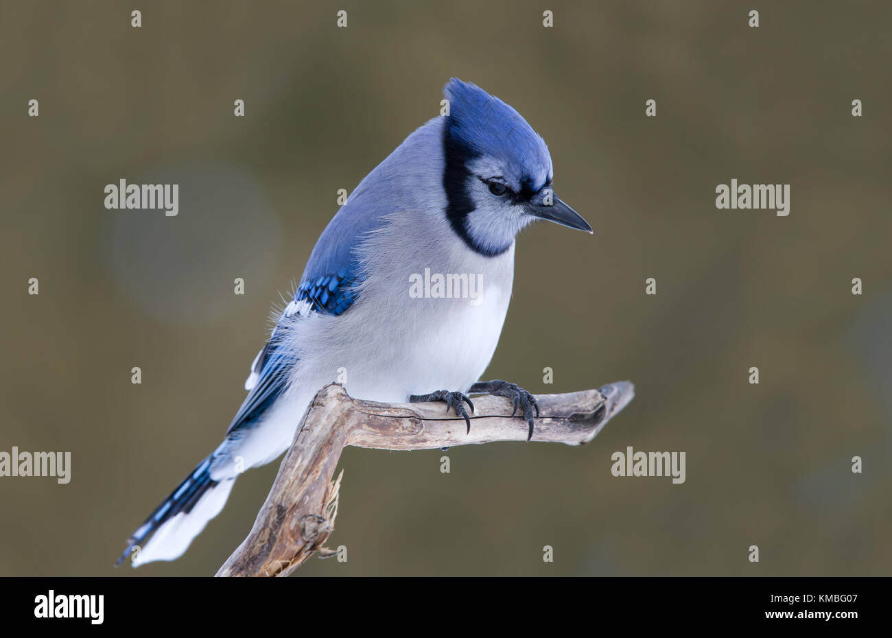 Blue Jay - Cyanocitta cristata perched on a branch in Canada Stock Photo