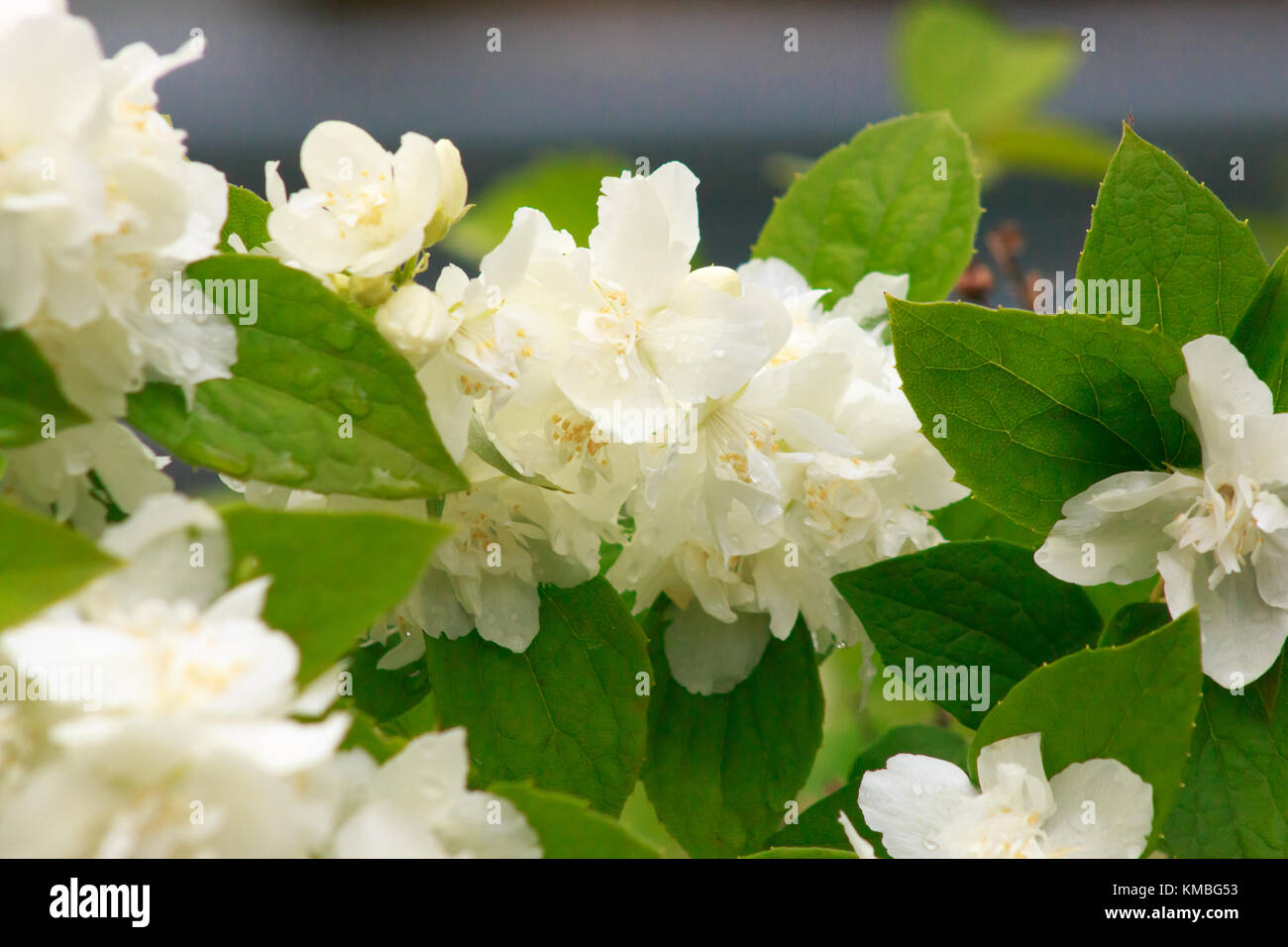 White flowers of terry jasmine with droplets of dew on petals and white flowers of terry jasmine with droplets of dew on petals and leaves background close izmirmasajfo Choice Image