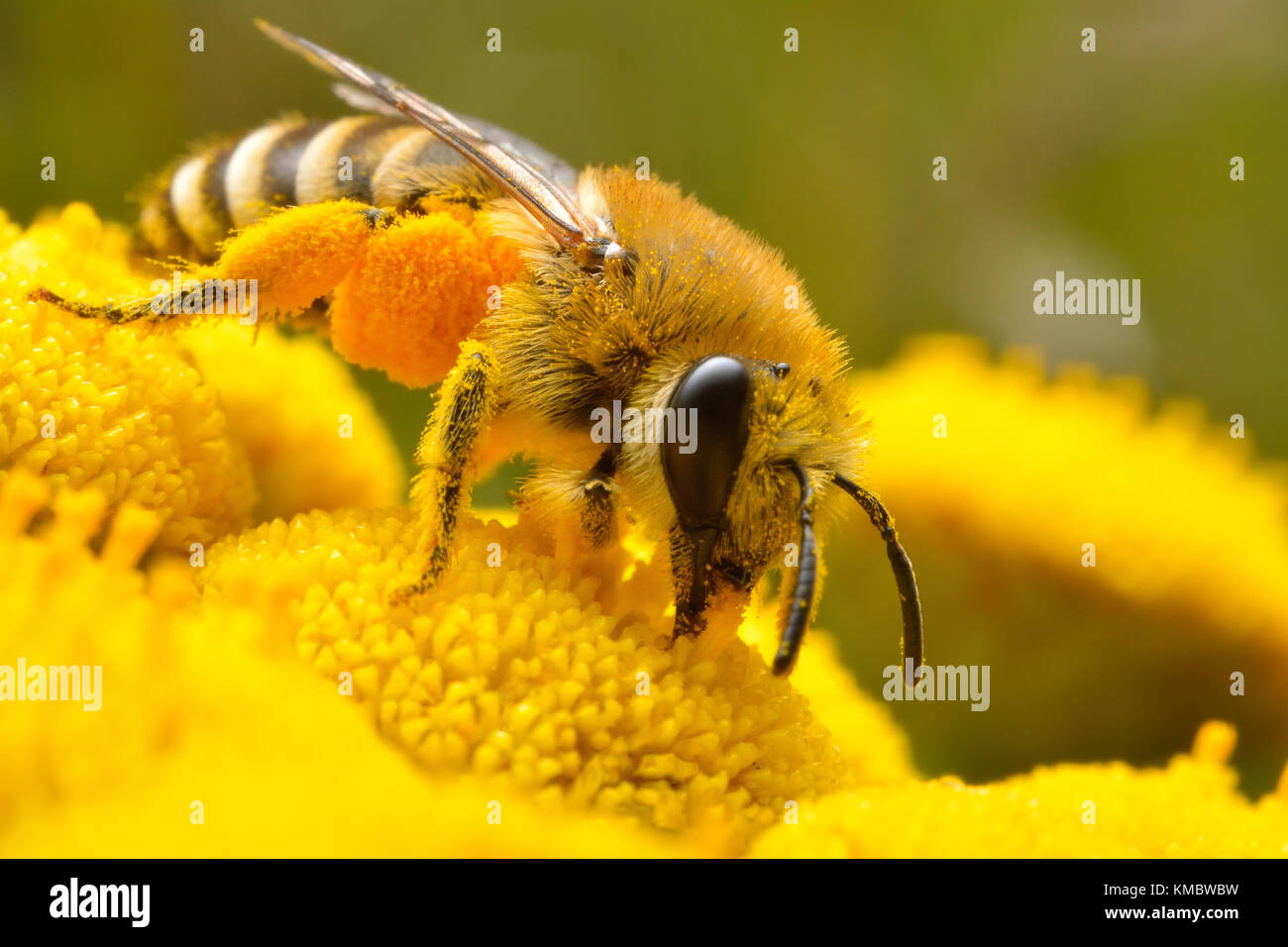 Bee on the yellow flowr - Stock Image