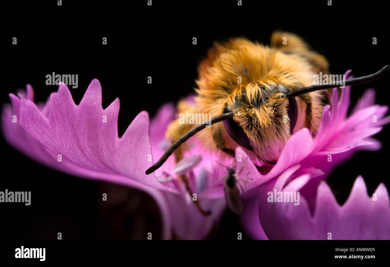 Bee on the purple flowr Stock Photo