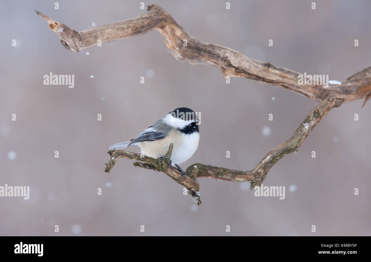 Black-capped Chickadee perched on branch in winter Stock Photo