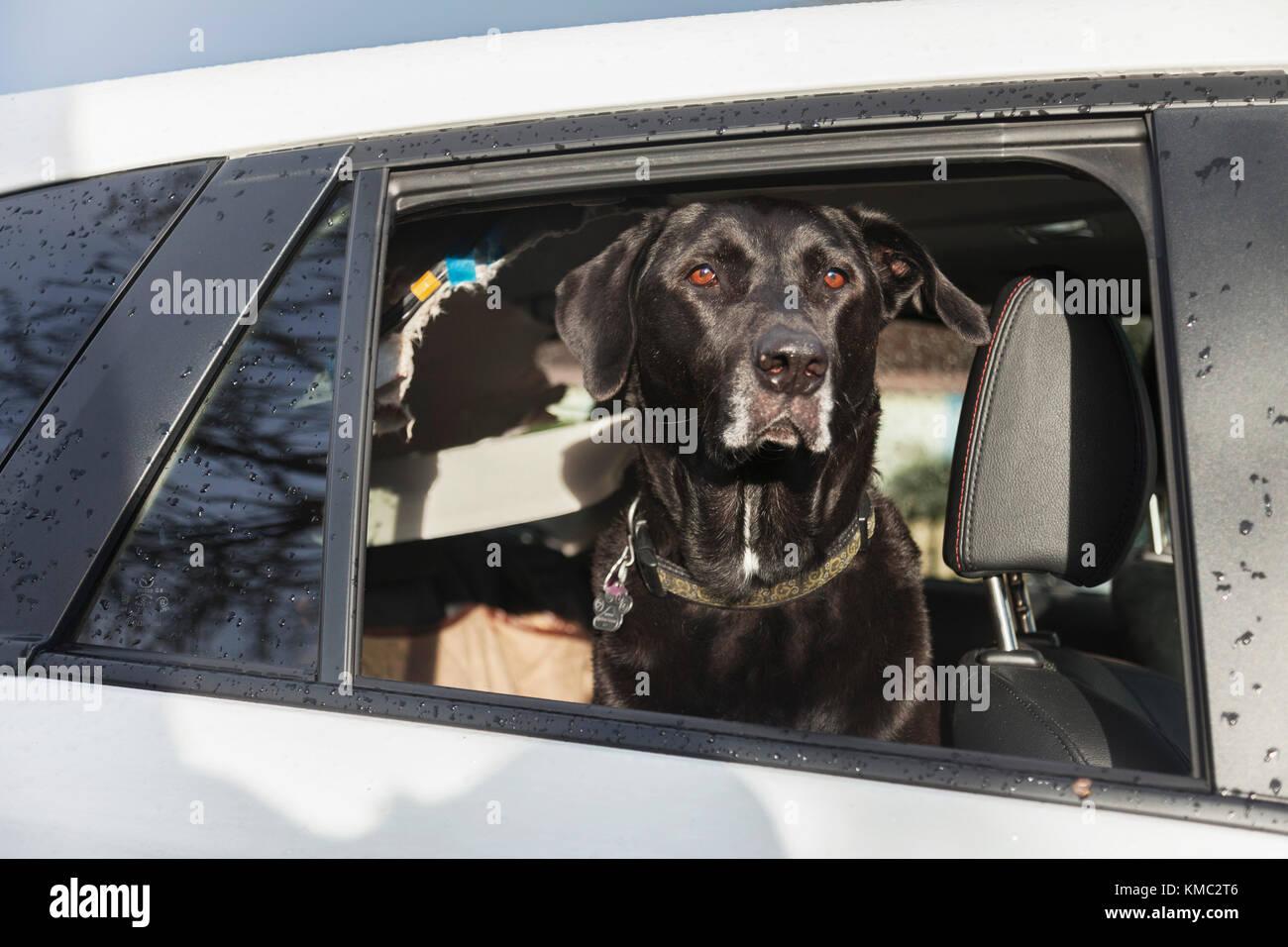 Black dog sitting calmly after destroying vehicle interior. - Stock Image