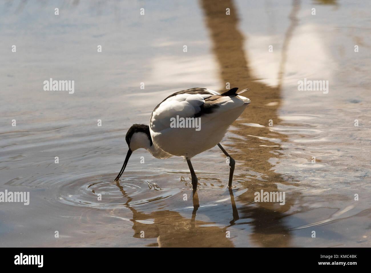A wading avocet, Recurvirostridae, Recurvirostra avosetta - Stock Image