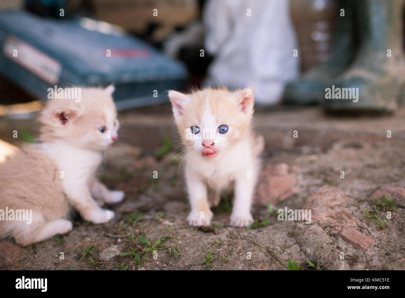 Two little funny kitten. One of them shows the pull tab - Stock Image
