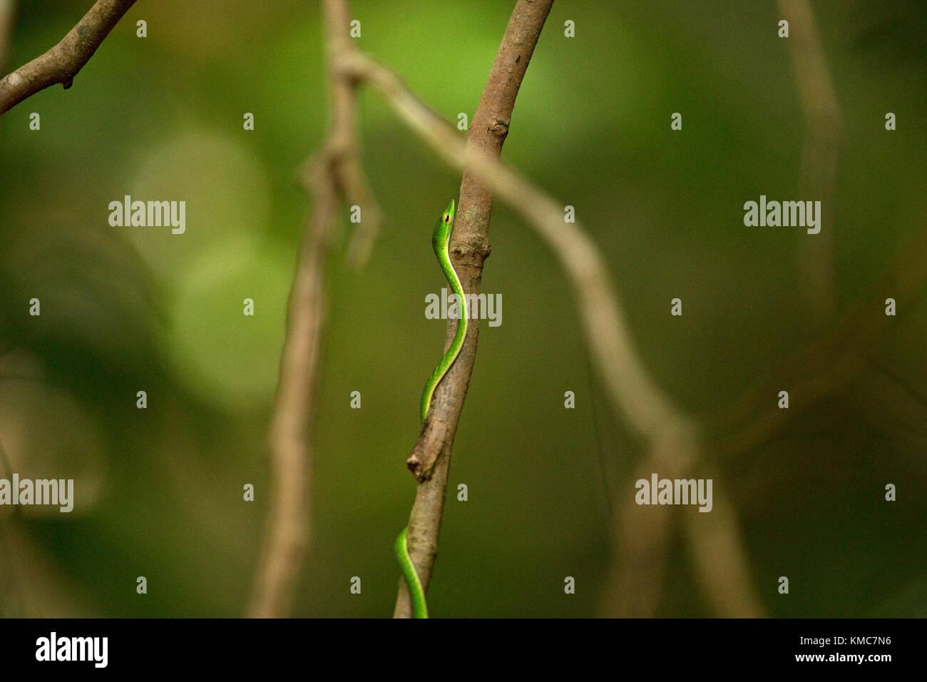 Green Vine Snake (Ahaetulla nasuta) Stock Photo
