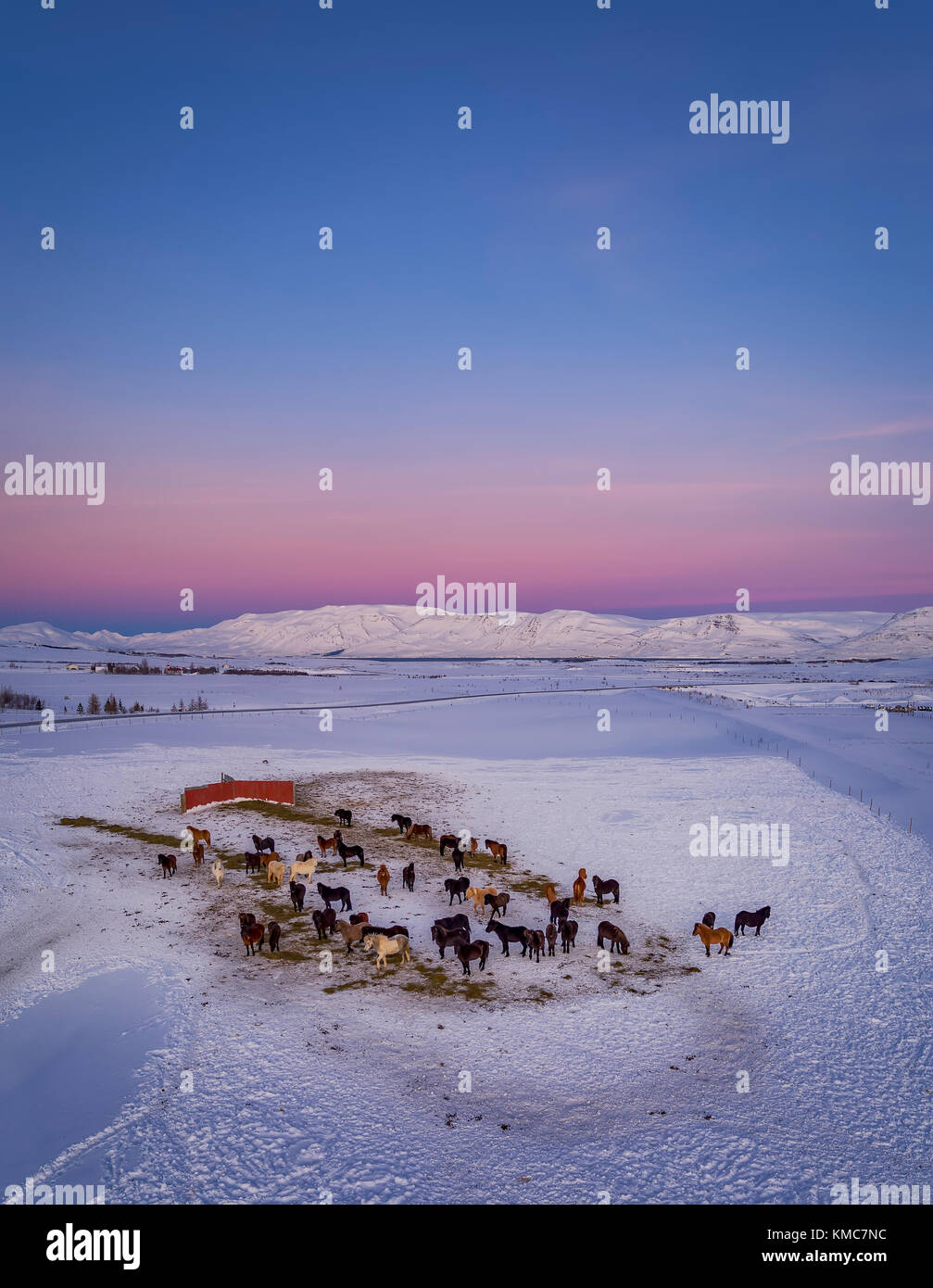 Icelandic on a farm in the Horgardulur valley in Northern Iceland. This image is shot with a drone. - Stock Image