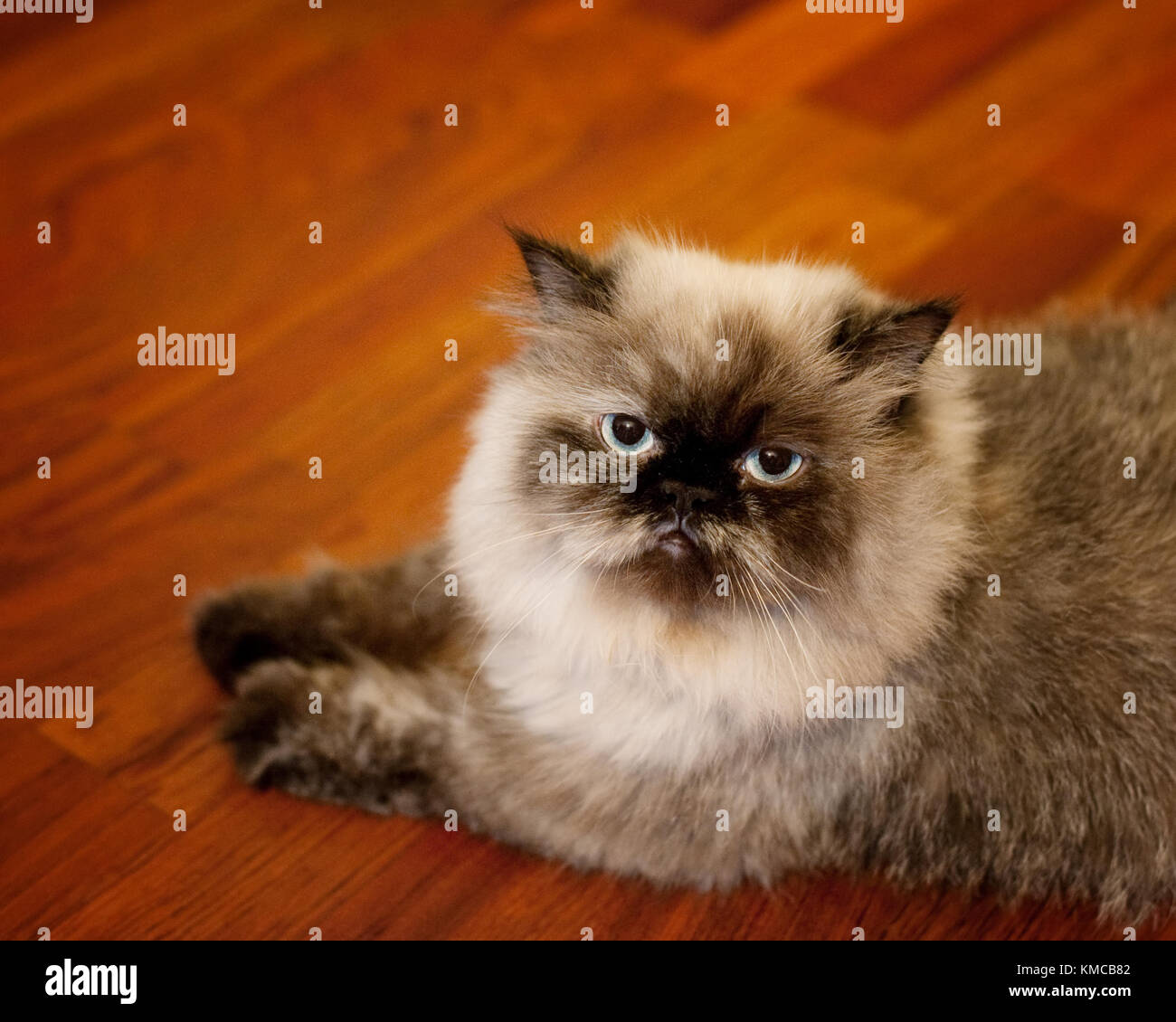 Portrait of Himalayan cat - Stock Image