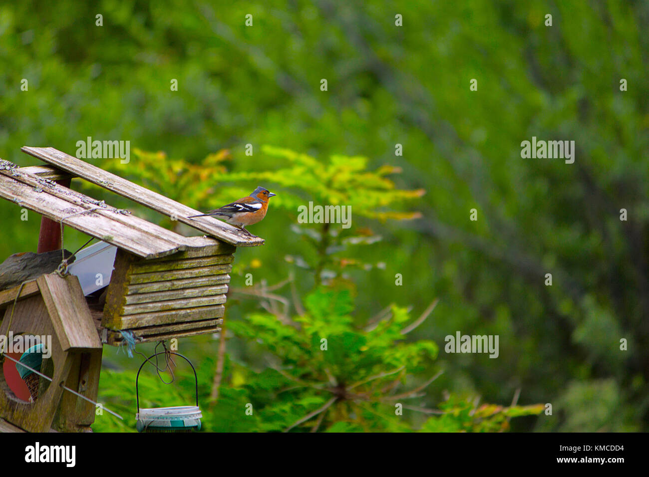 The common chaffinch, Fringilla coelebs, or chaffinch, is a common and widespread small passerine bird in the finch - Stock Image