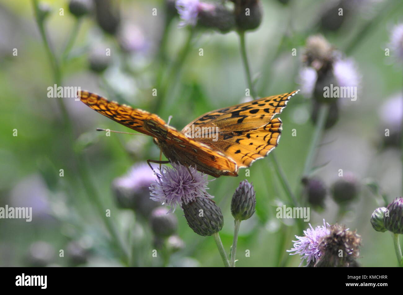 Butterfly Feeding on Flower - Stock Image