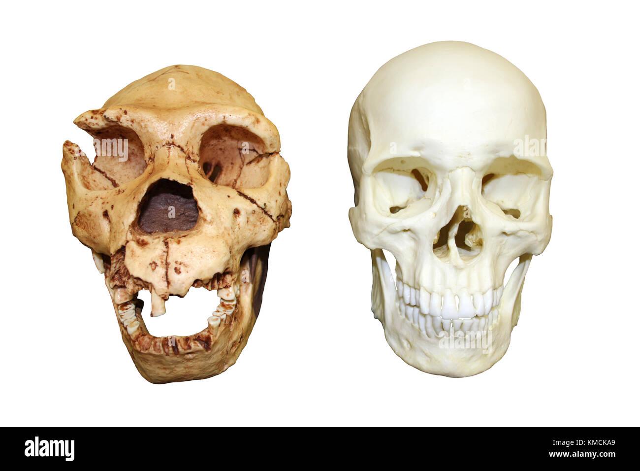 Homo heidelbergensis vs Homo sapiens skull - Stock Image