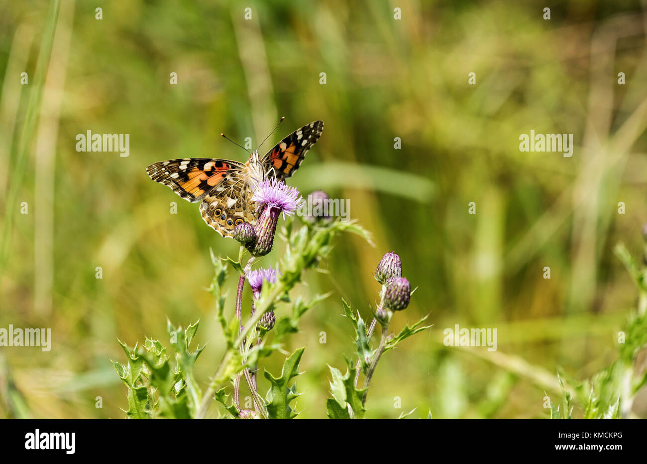 Painted Lady butterfly feeding on a thistle - Stock Image