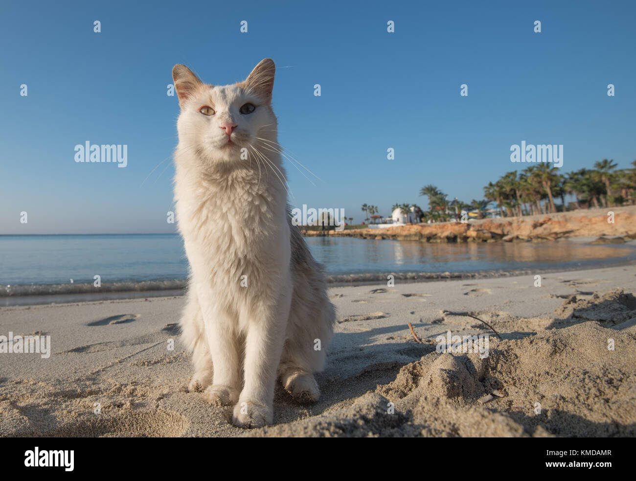 Portrait of a beautiful white domestic cat sitting proudly on the sandy beach of Nissi Beach, Ayia Napa, Cyprus - Stock Image