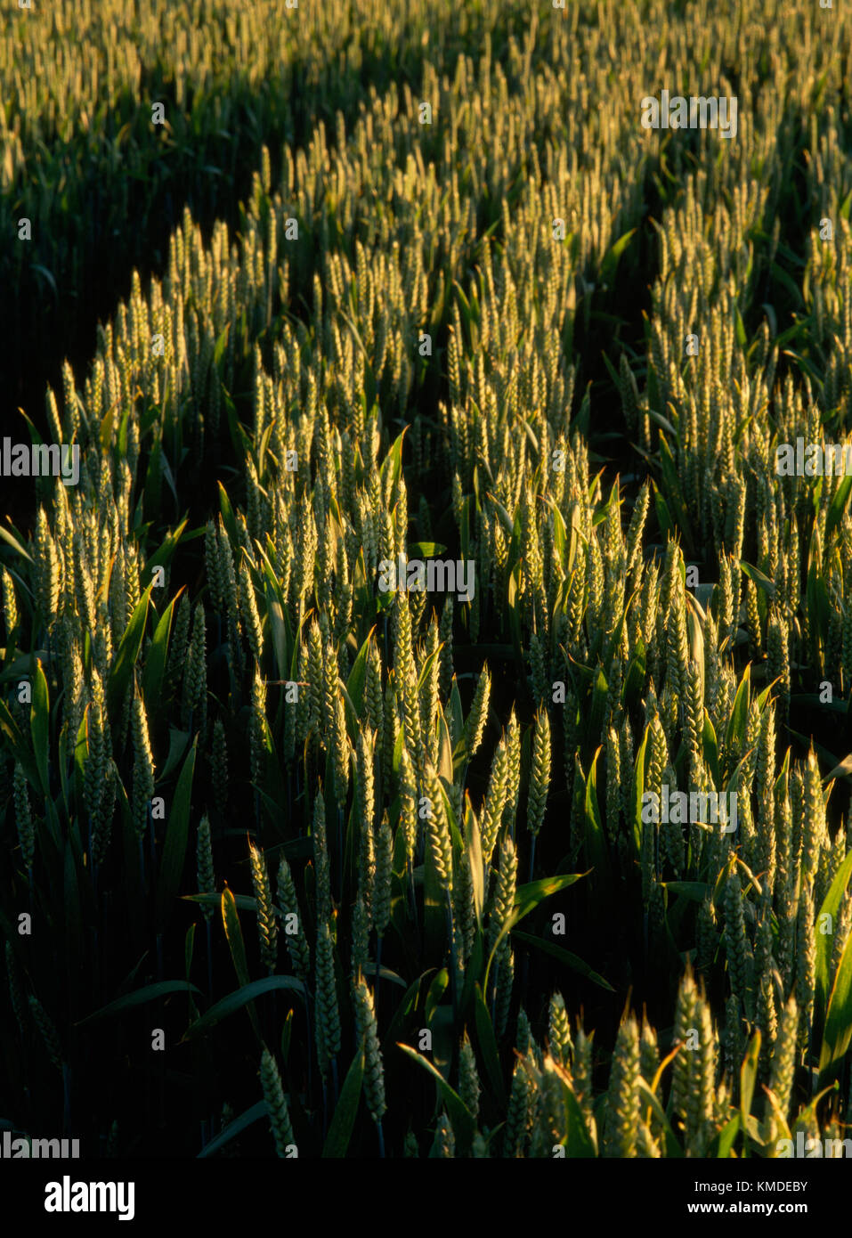 Curved rows of ripening wheat on the edge of a field lit by low level sunshine. Pembrokeshire, South Wales, UK - Stock Image