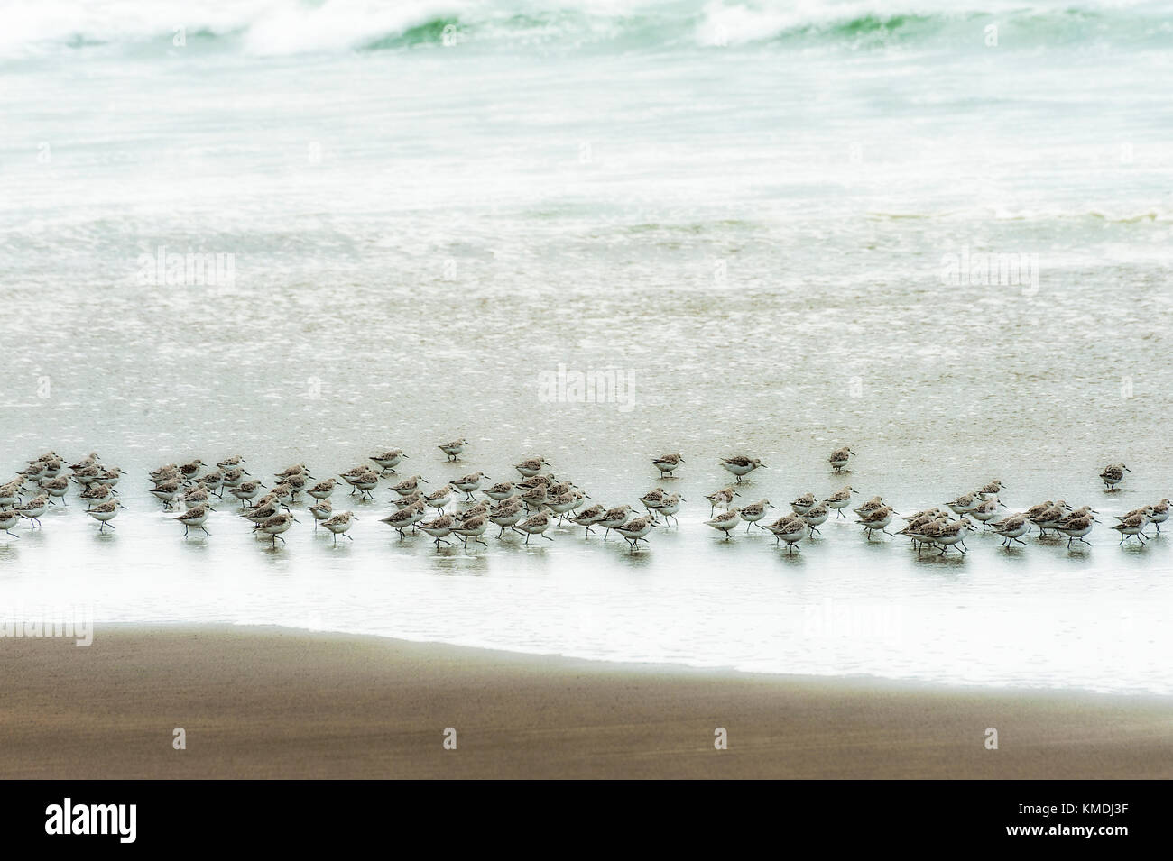 A flock of sandpipers run about in the surf looking for food being washed ashore in Pacific City on the Oregon Coast - Stock Image