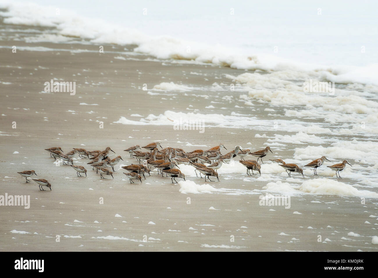 Sandpipers hunt for food amongst seafoam that has blown up onto the shore at Pacific City on the Oregon Coast. - Stock Image