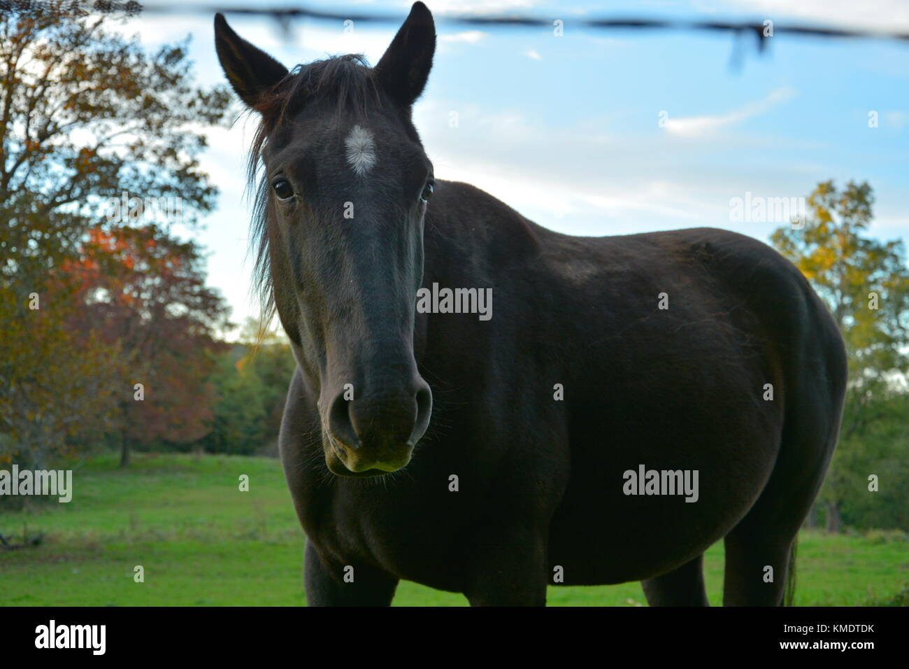 A vigilant gelding watches tourists feed apples to his friends before deciding if he's interested. - Stock Image