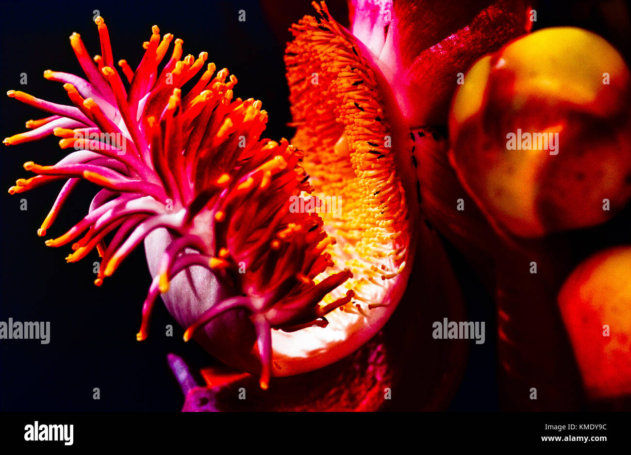 Close-up Detail of a Single Cannon Ball Flower (Couroupita guianensis) - Scanned Fujifilm transparency. Saint Lucia, - Stock Image