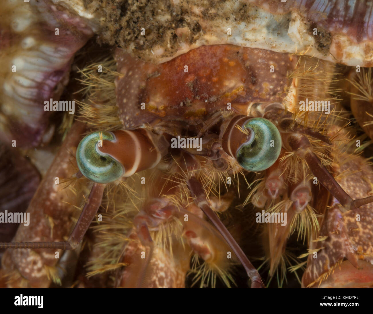 Hermit crab on a coral - Stock Image