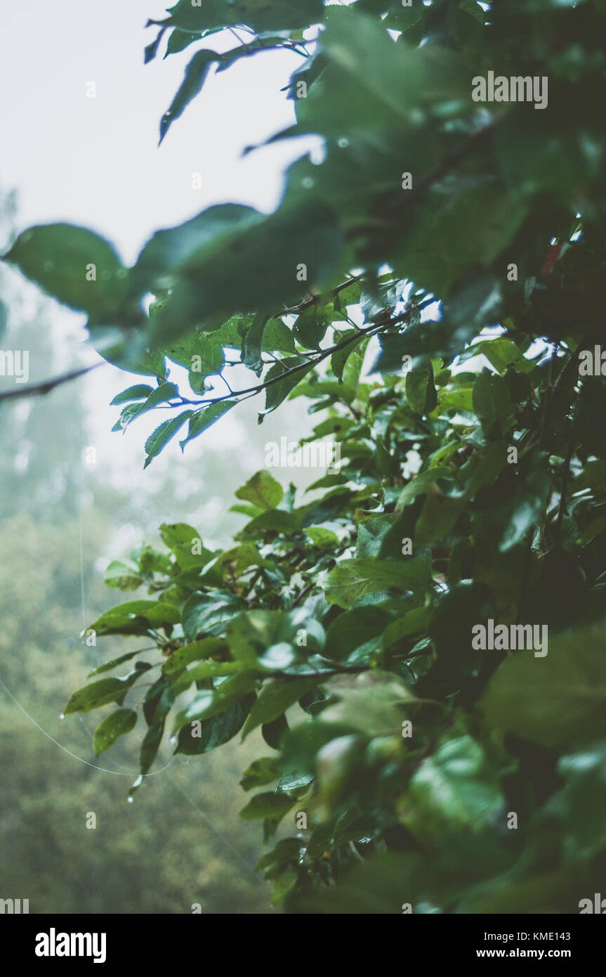 Apple branches on a rainy, misty summers day. - Stock Image