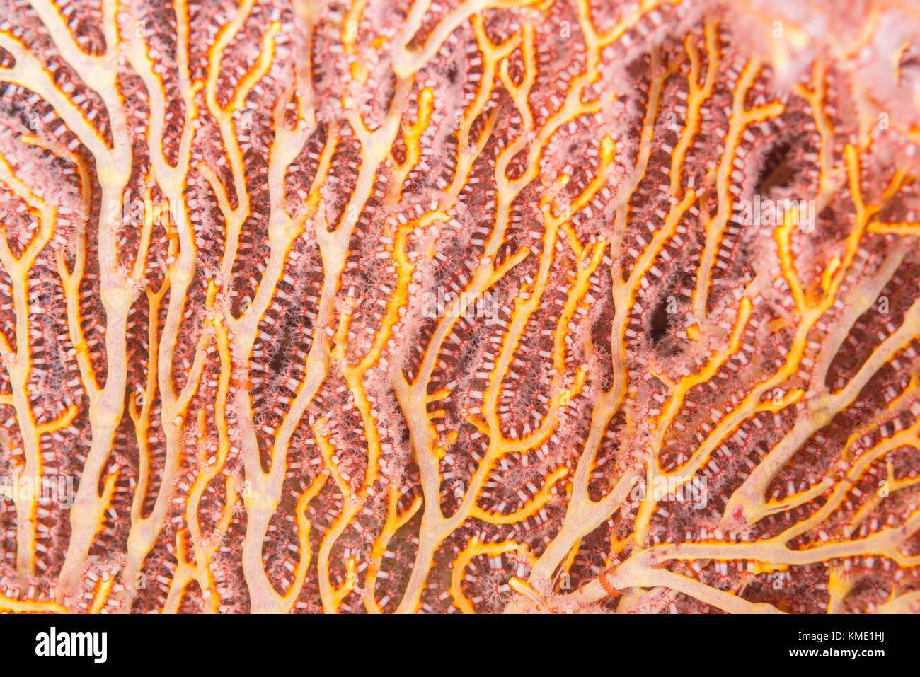 Detail of a colorful sea fan Stock Photo