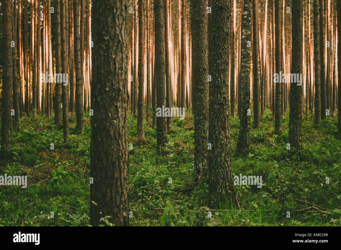 Beautiful pine trunks and sun light trough them. - Stock Image