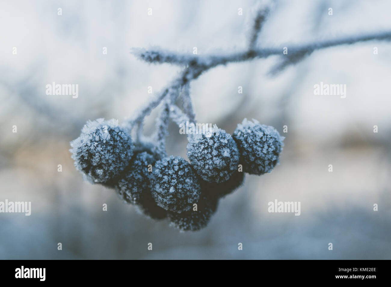 Aronia berries. Winter hoarfrost. - Stock Image