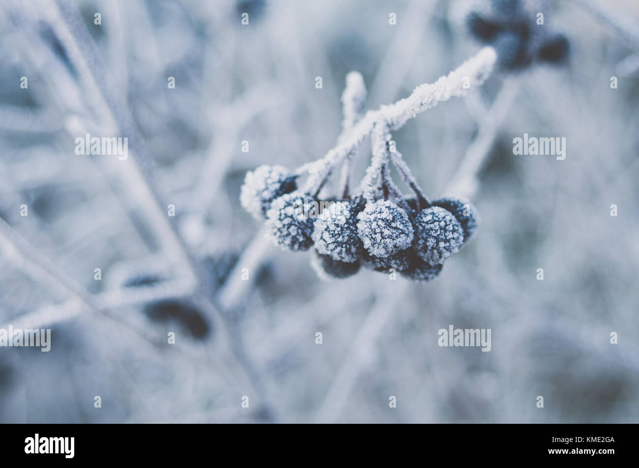 Hoarfrost crystals on Aronia berries. - Stock Image