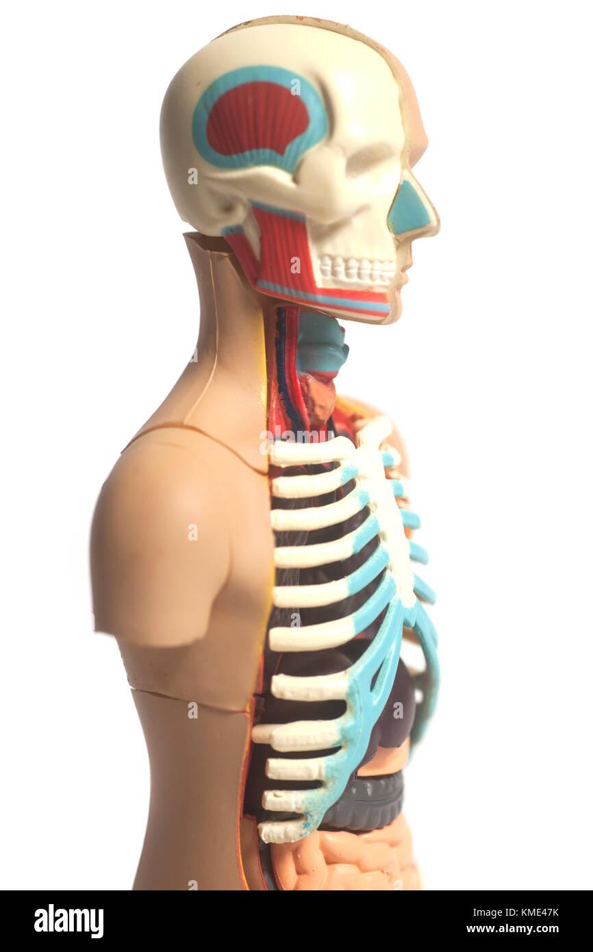 Human Body Anatomy Model isolated on white background Stock Photo ...