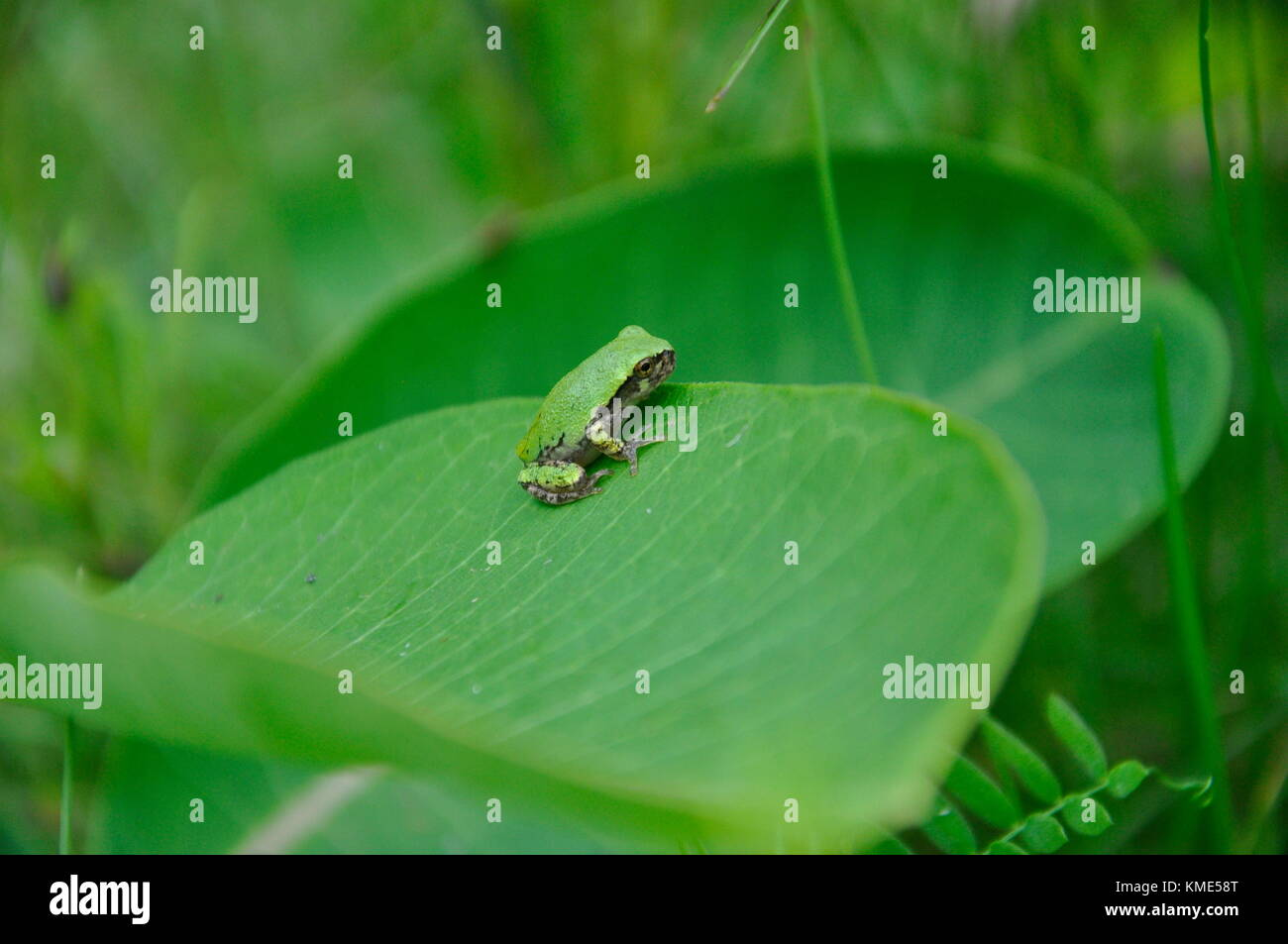 Eastern Gray Tree Frog sitting on Milkweed - Stock Image
