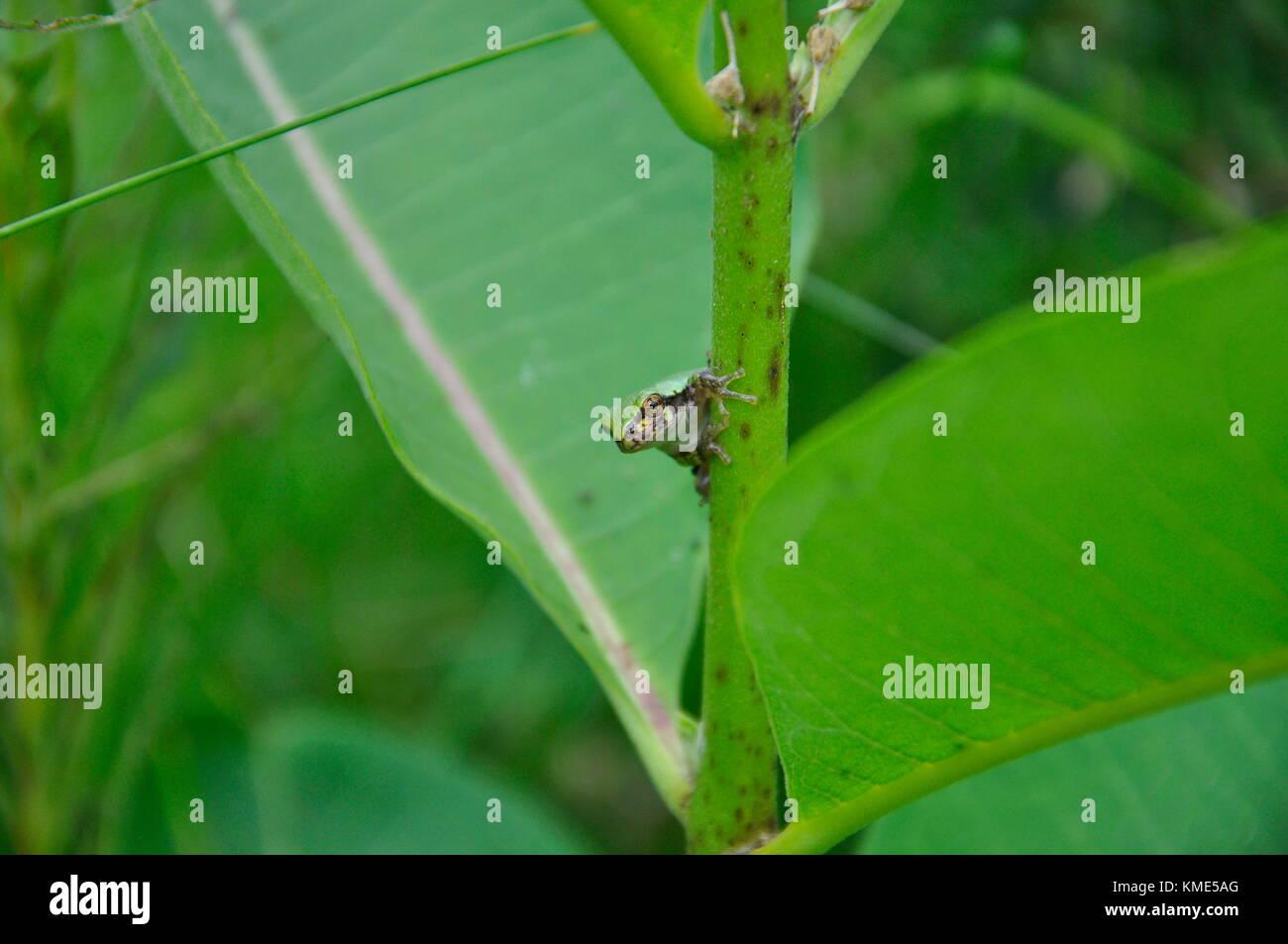 Eastern Gray Tree Frog sitting on Milkweed - Stock Image