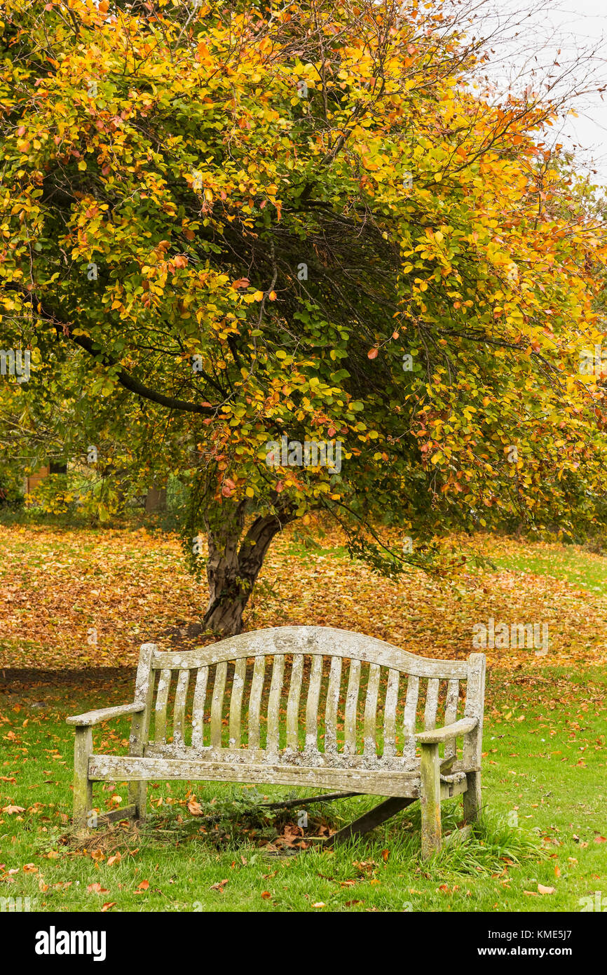 Autumn tee with leaves changing to seasonal colour with an old park bench that has seen better days. - Stock Image