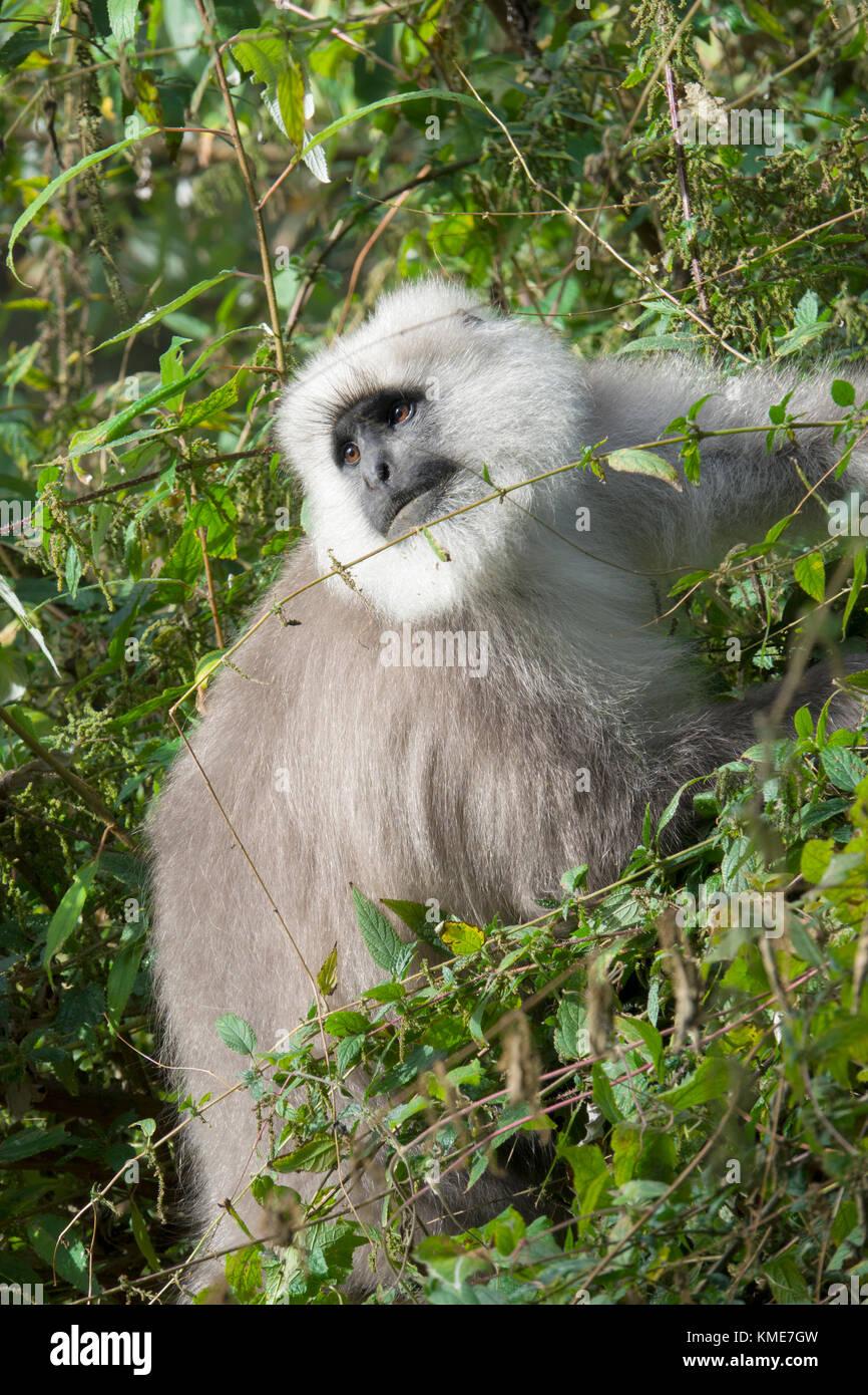Kashmir gray langur (Semnopithecus ajax) monkey feeding in forest - Stock Image