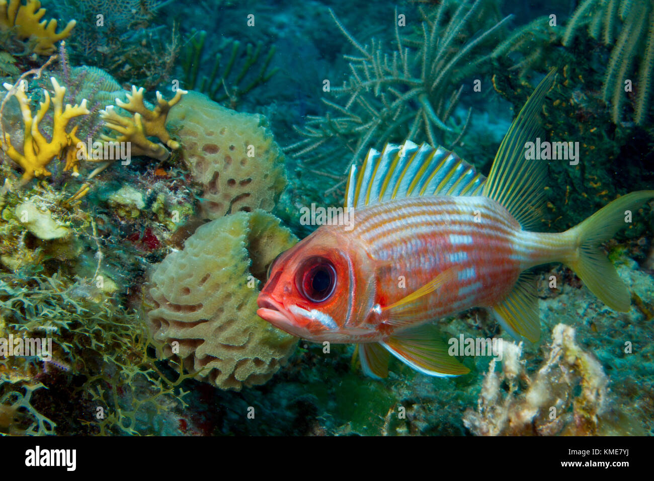 Wary squirrelfish. Stock Photo