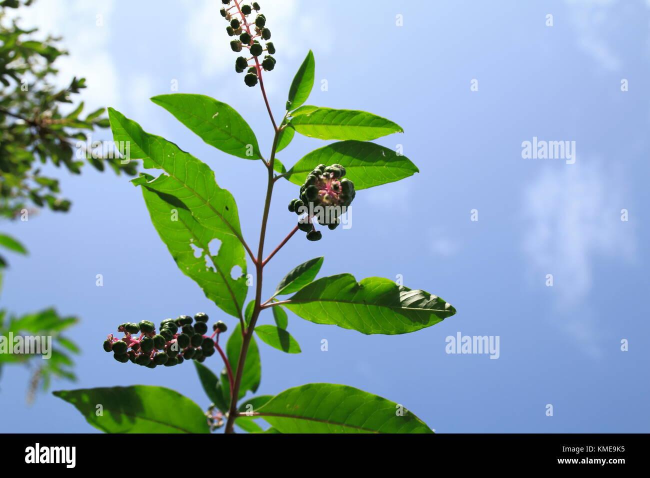 Kermesbeere mit blau schwarz farbenen Beeren - Stock Image