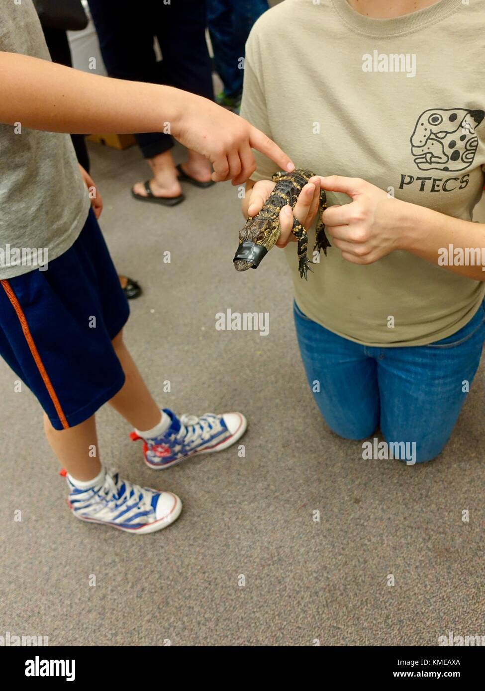 USA, Florida. Boy tentatively touching baby alligator held by university student at a science open house for elementary - Stock Image