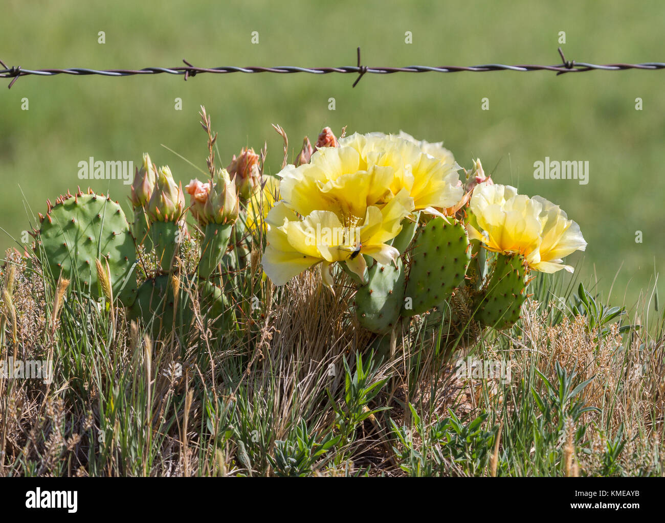 Prickly Pear Cactus Growing  Under a Barbed Wire Fence Is in Full Bloom - Stock Image